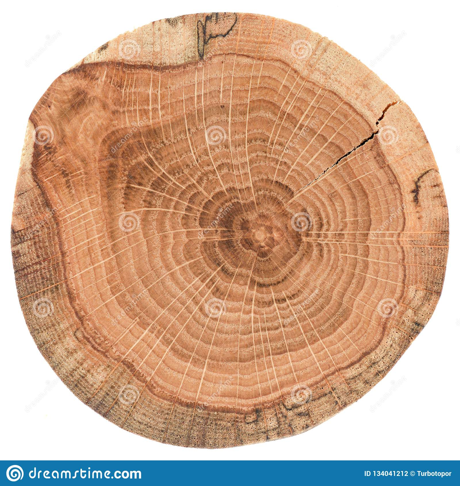 Piece of circular wood stump with cracks and growth rings. Oak tree slab texture isolated on white background