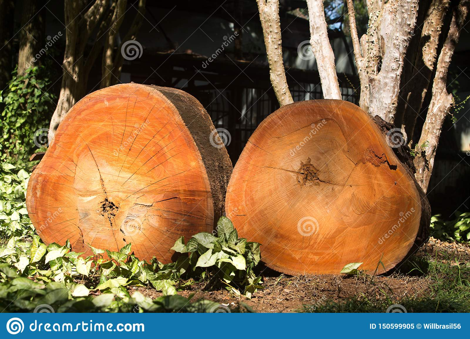 Pieces of red wood tree cut illegally