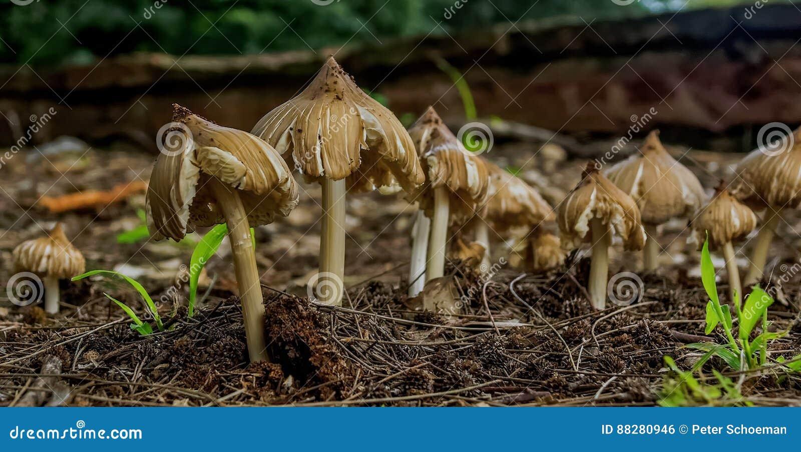Pieczarki w miękkiej części ziemi dorośnięciu pod drzewem