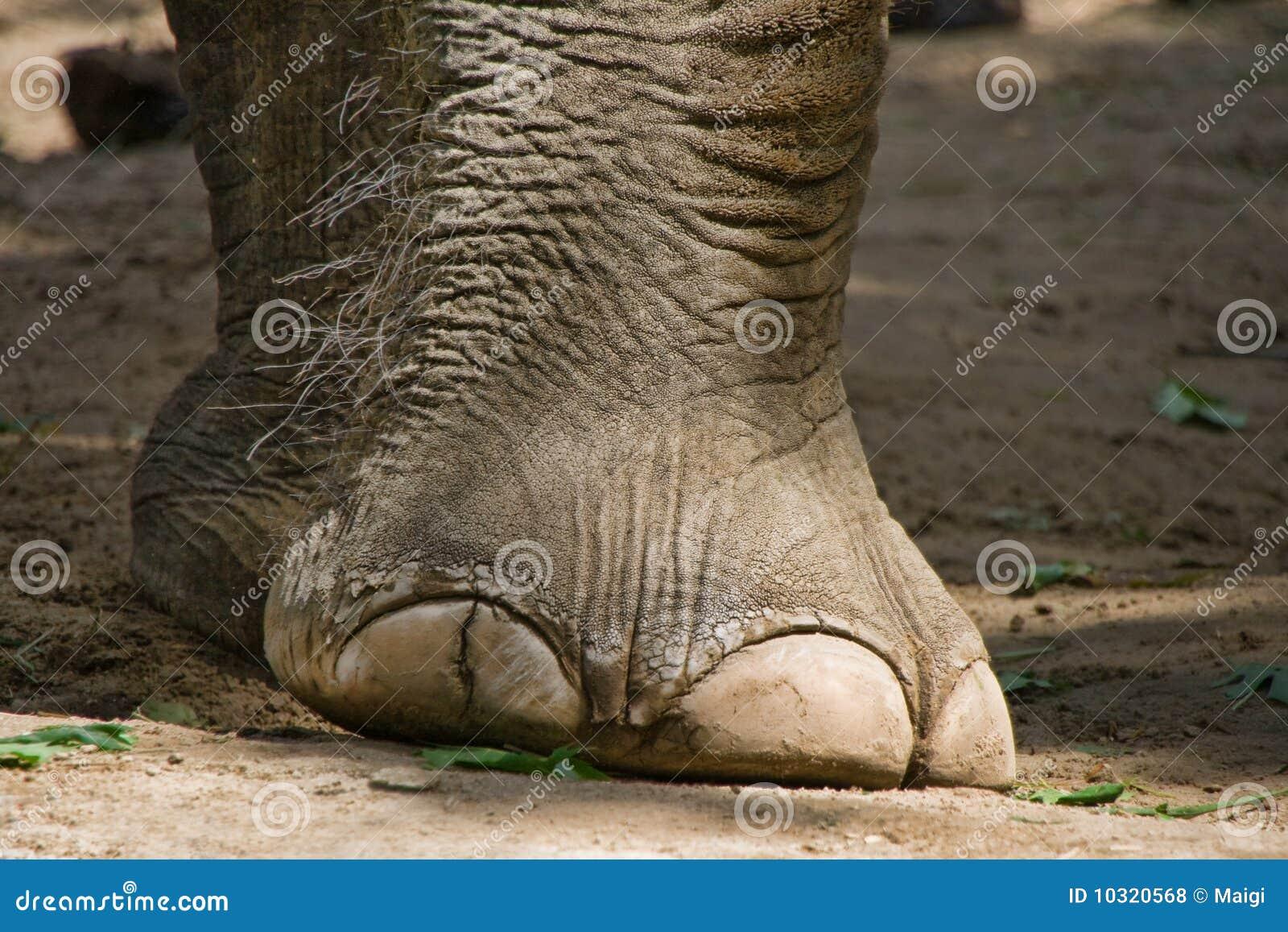 Pied d 39 l phants photos libres de droits image 10320568 - Entretien pied d elephant ...