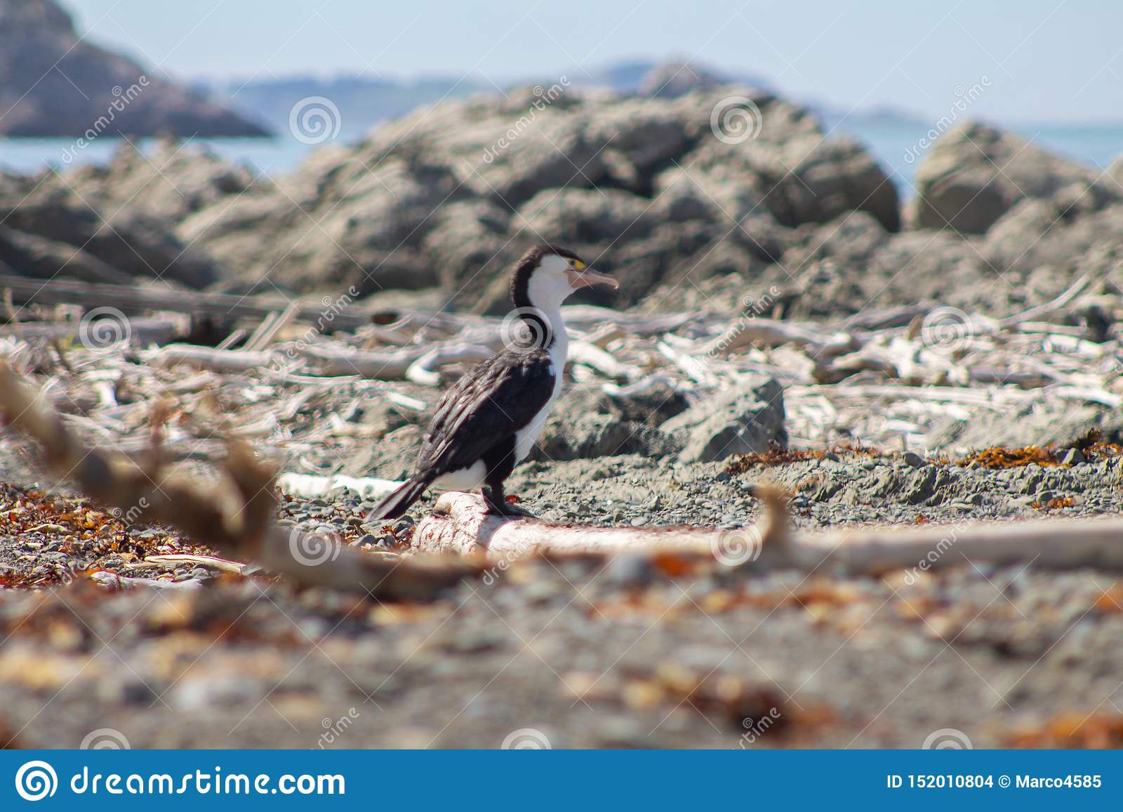 Pied Shag on a beach near Kaikoura