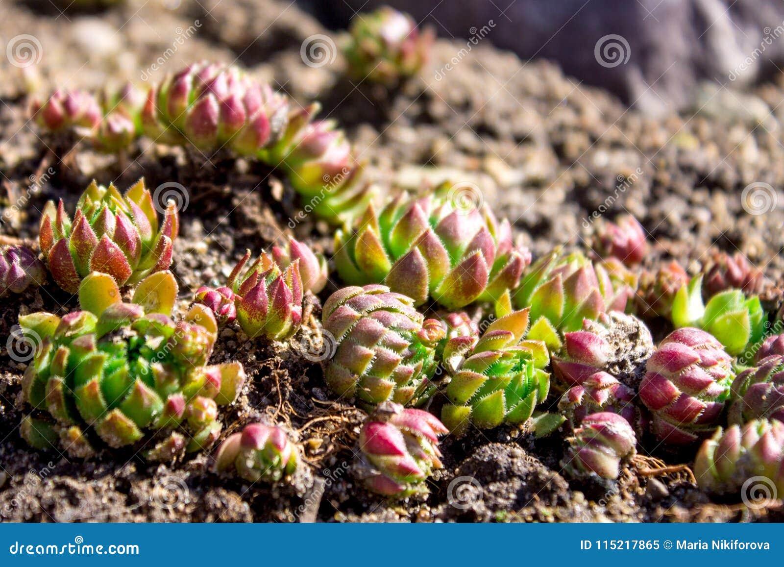 Piedra minúscula color de rosa u outd del sempervivum de los succulents del gallina-y-pollo