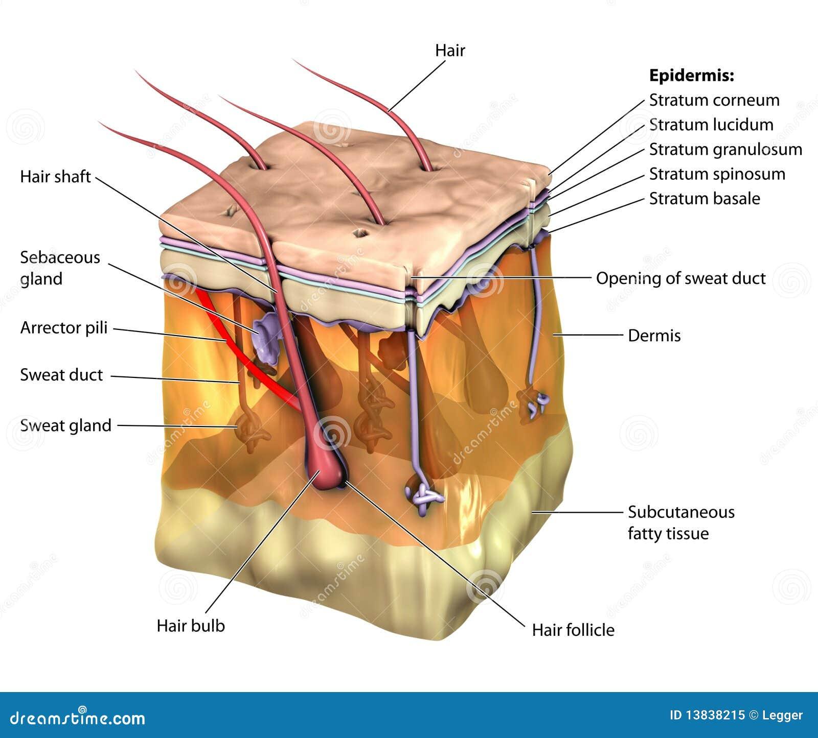 Etiqueta de la piel stock de ilustración. Ilustración de epidermis ...