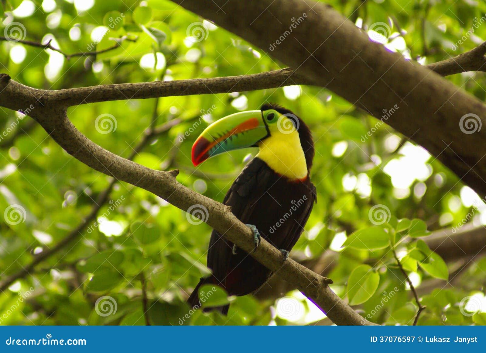 Download Pieprzojad W Lesie Tropikalnym Z Drzewem I Ulistnieniem W Ranku Po Deszczu, Wcześnie. Obraz Stock - Obraz złożonej z zwierzę, piękny: 37076597