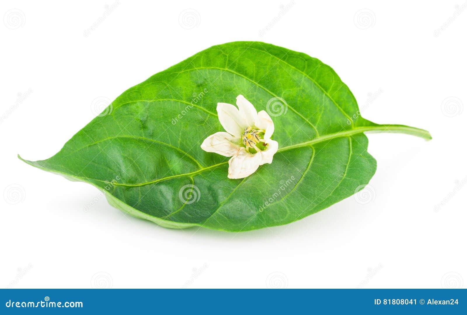 Pieprzowy liść z kwiatem
