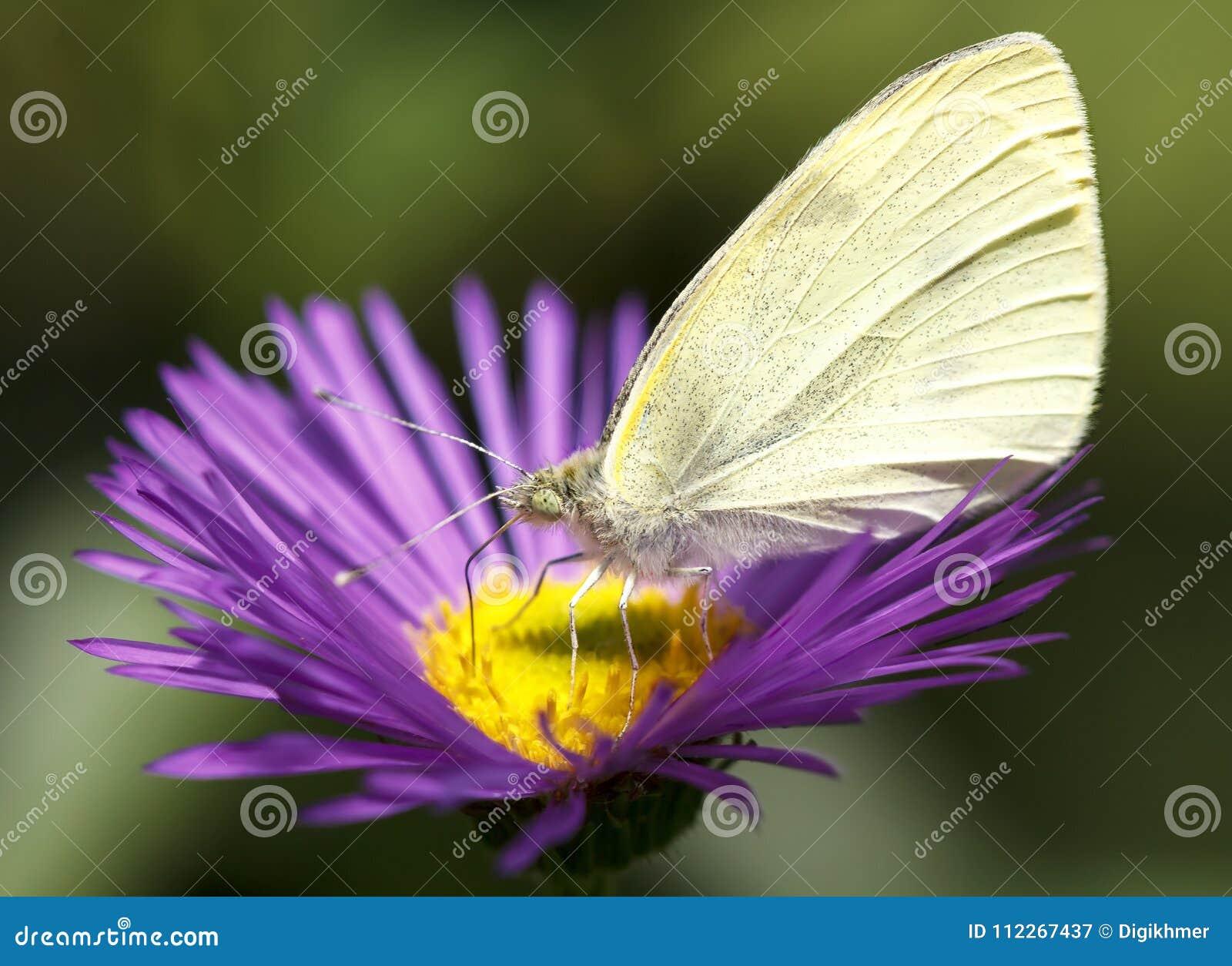 Pieris Brassicae butterfly