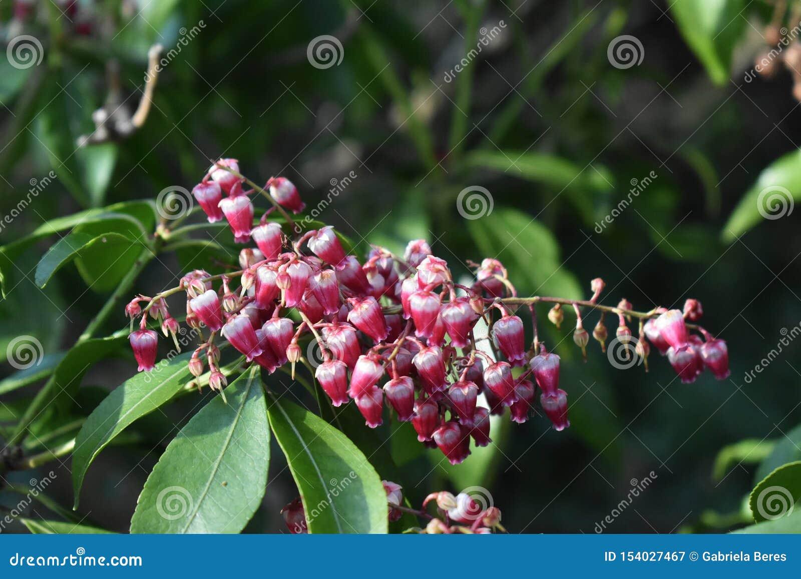 Pieris japonica Anlage, die im Garten wächst