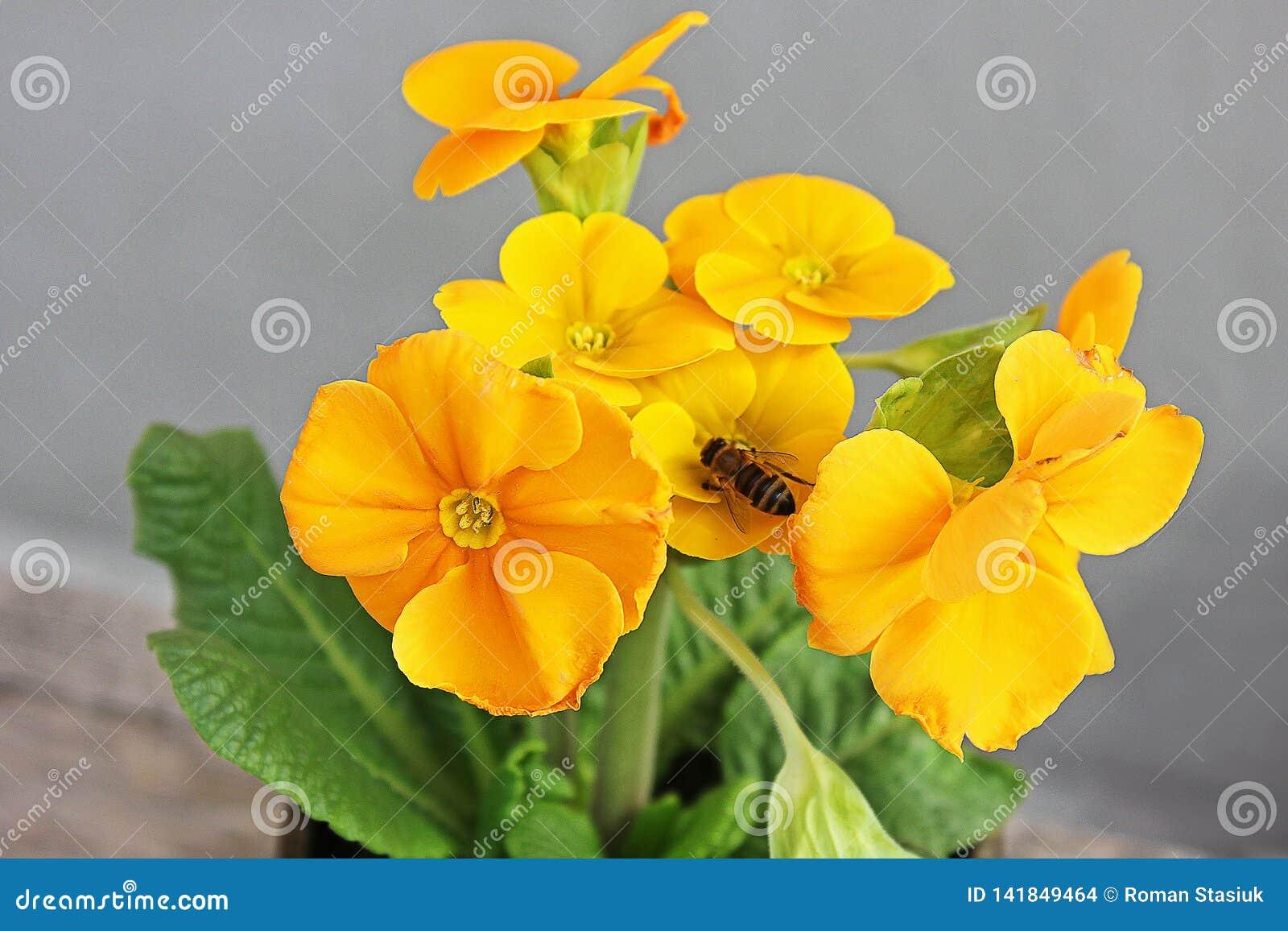 Pierwiosnek Kwiaty pierwszy kwiaty Wiosna Osa umieszczają na kwiacie