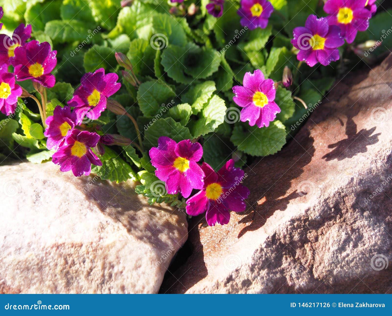 Pierwiosnkowy kwiat w skalistym ogródzie