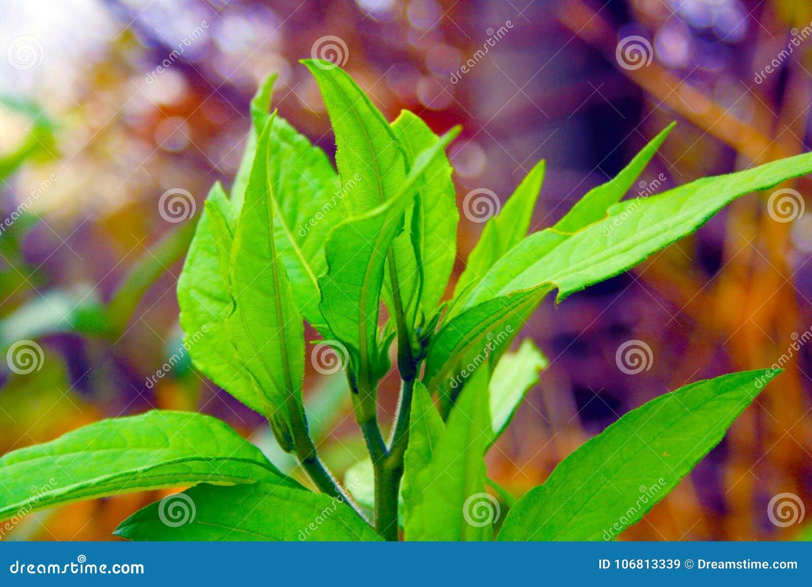 Pierwsze piętro kwiat Śródziemnomorska plama w półwysepa salentina z długimi ujawnieniami bezpośredni słońce
