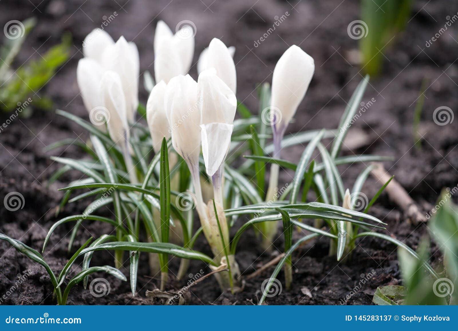 Pierwszy śnieżyczki wiosny białych kwiatów zbliżenia widok