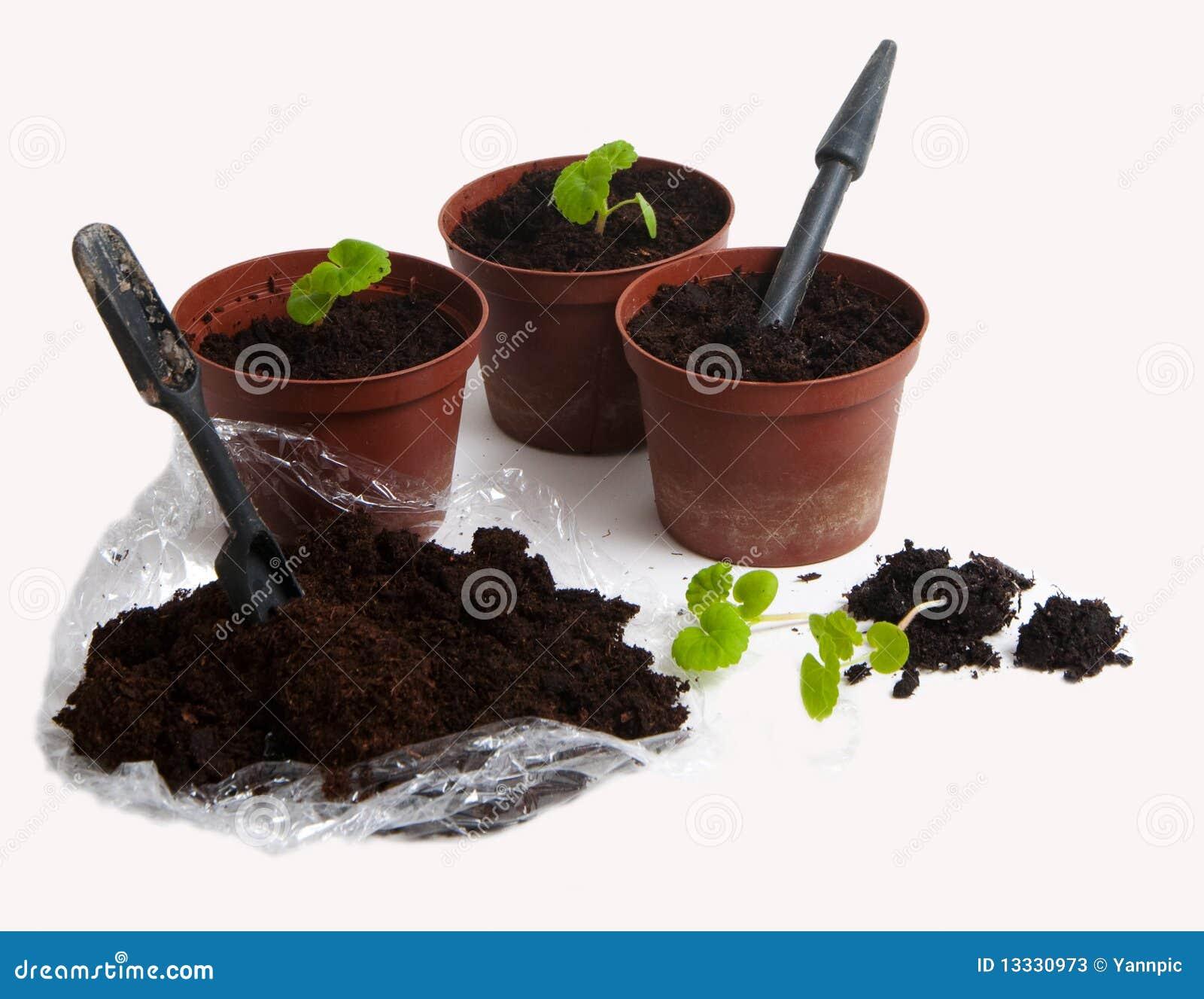 Pierwszy bodziszków pelargoniums target1963_0_