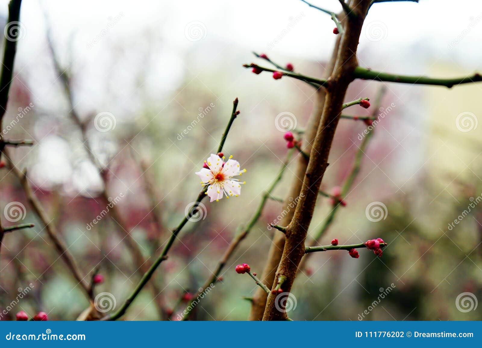 Pierwszy kwitnący śliwkowy kwiat