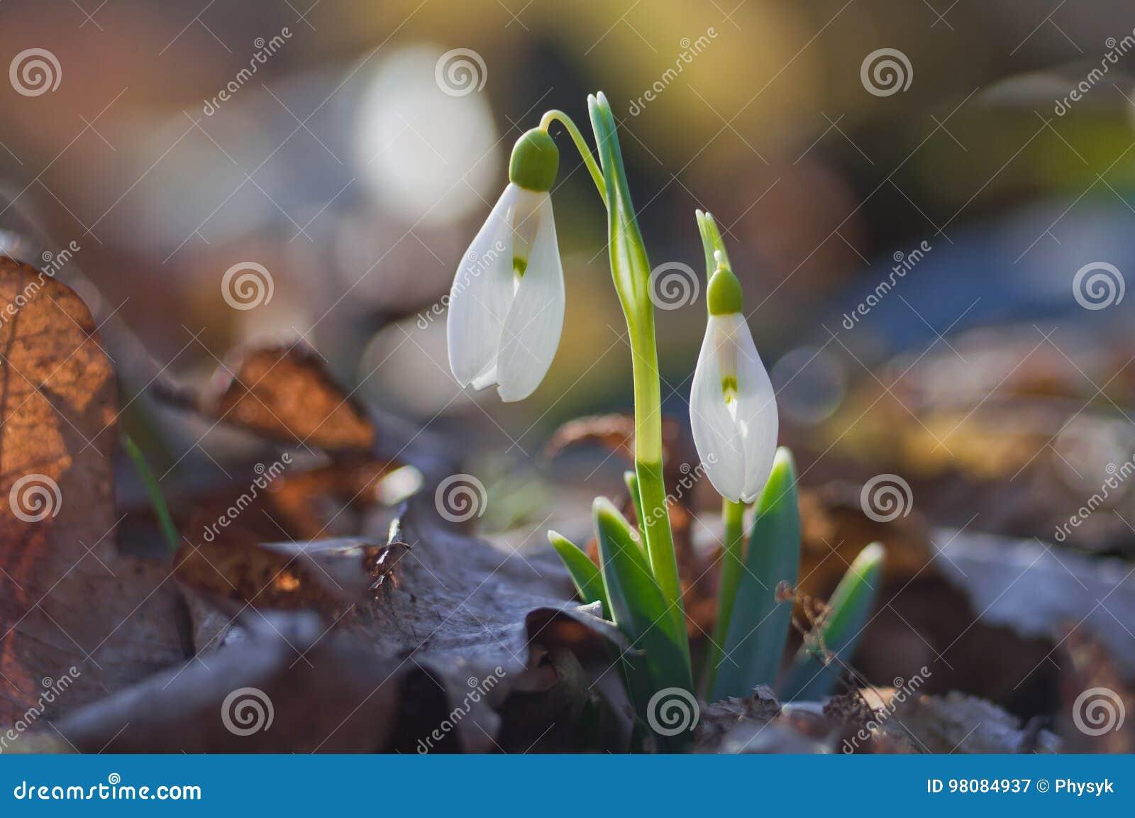 Pierwszy wiosna kwitnie śnieżyczki