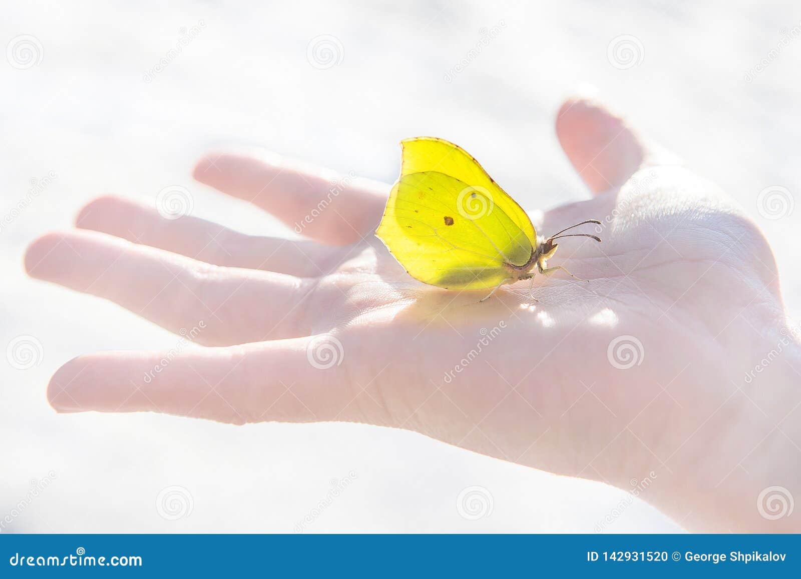 Pierwszy wiosny żółty motyl spokojnie siedzi po środku dziecka otwartej palmy