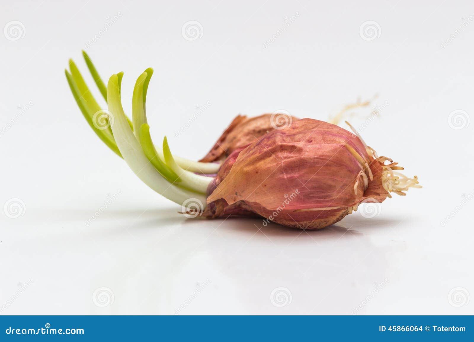 Pierwszy wiosny warzyw cebulkowy dorośnięcie