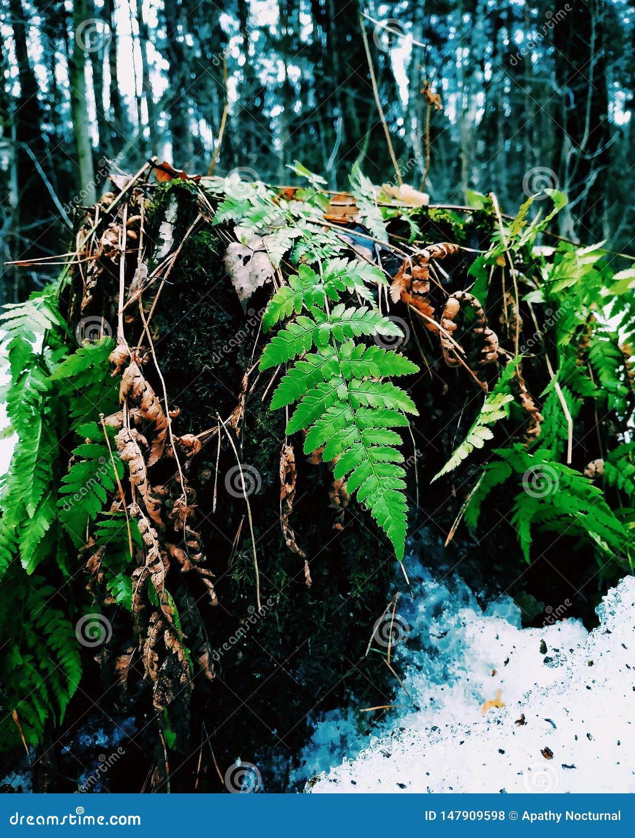 Pierwszy zielenie w zimie