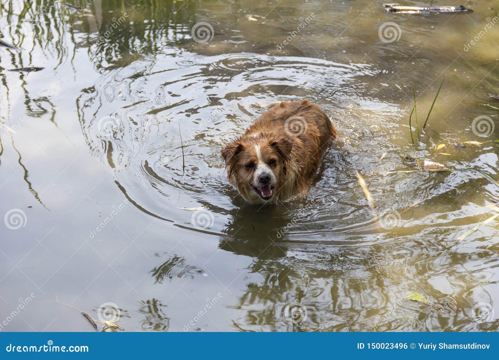 Pies cieszy się chłodno wodę jezioro na gorącym letnim dniu