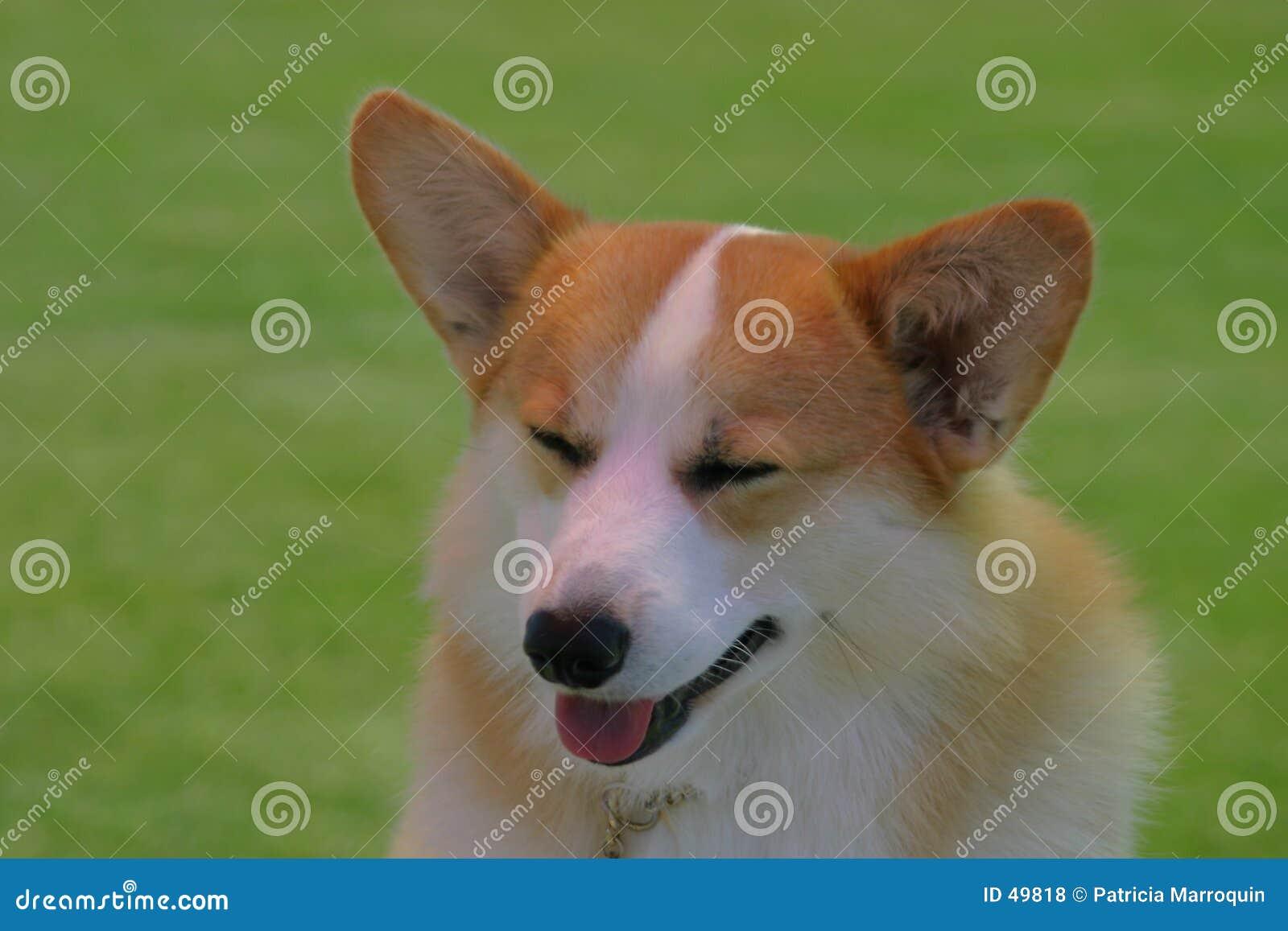 Pies corgi nieśmiała
