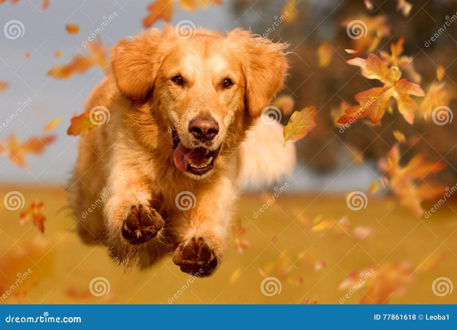 Pies, golden retriever skacze przez jesień liści