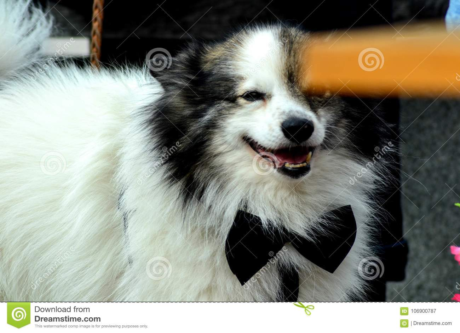 Pies Jest Galanteryjny