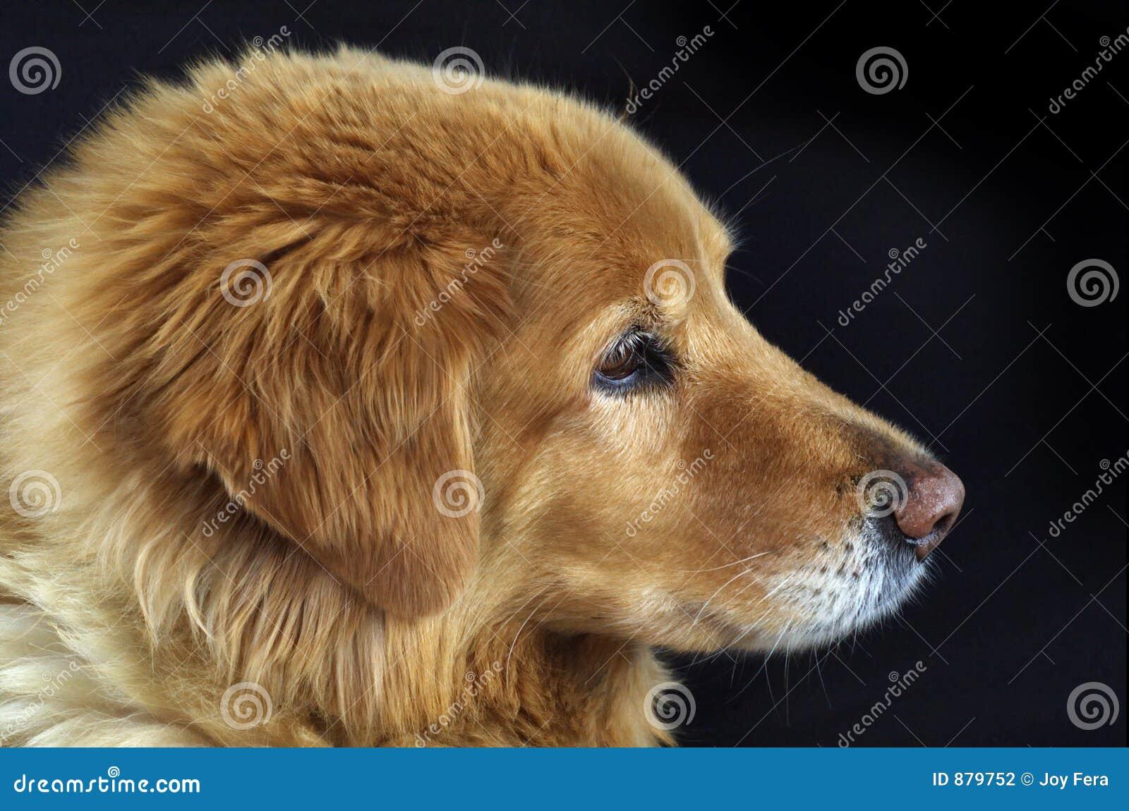 Pies jest portret