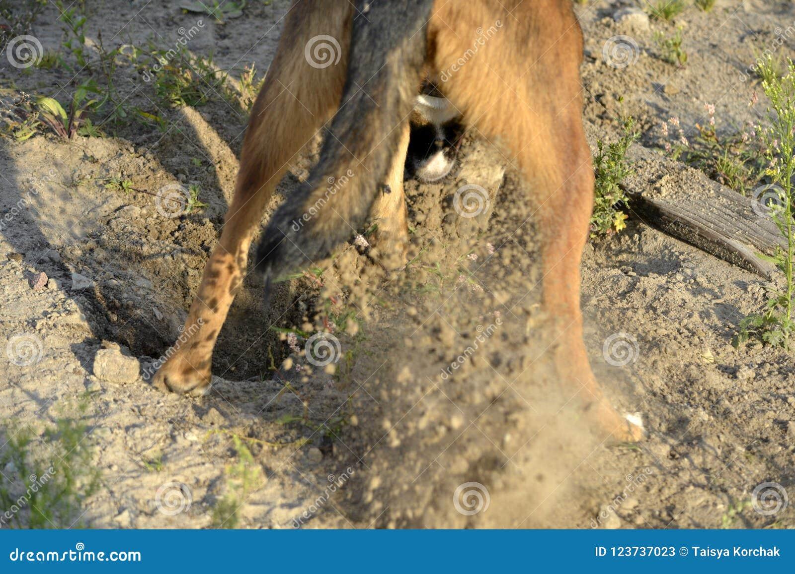 Pies kopie dziury