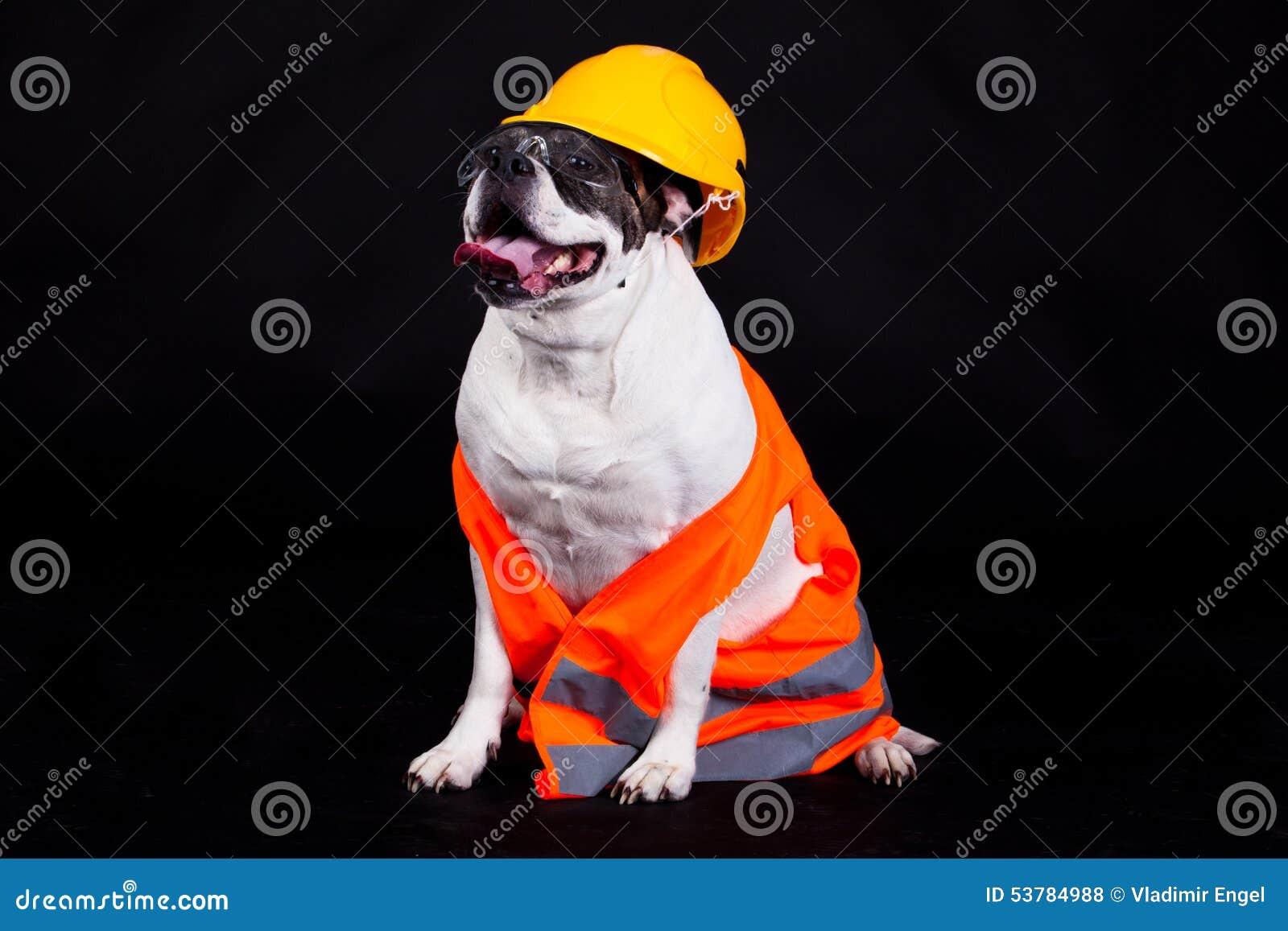 Pies na czarnej tło szefa kuchni budynku ochrony zbawczym hełmie