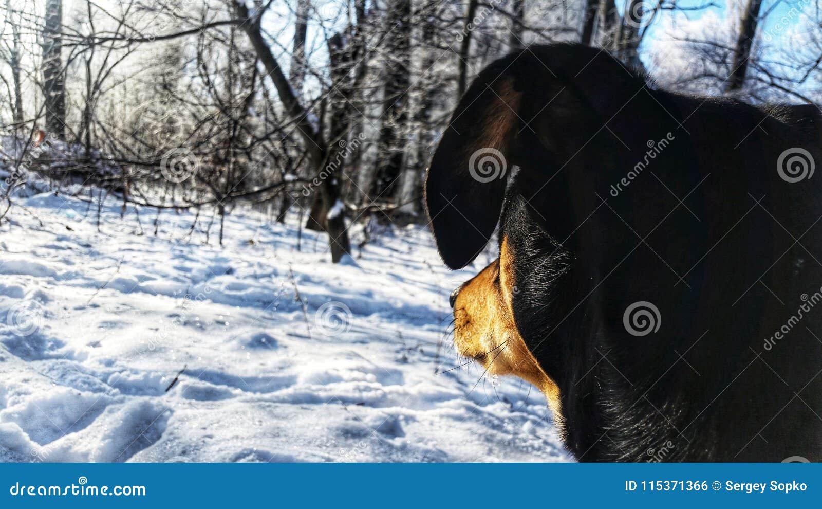 Pies patrzeje w odległości w zimie