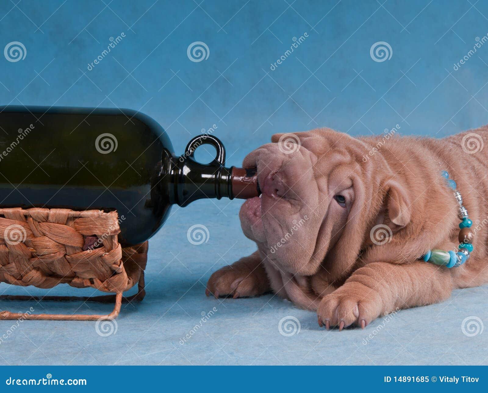 Pies pijący