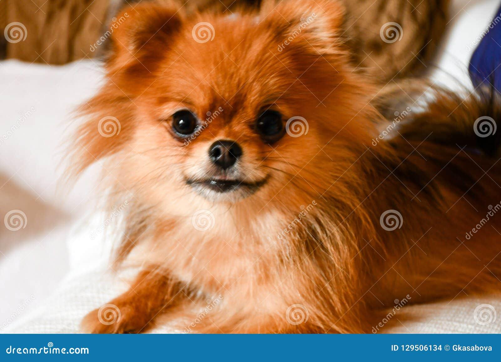 Pies pomeranian