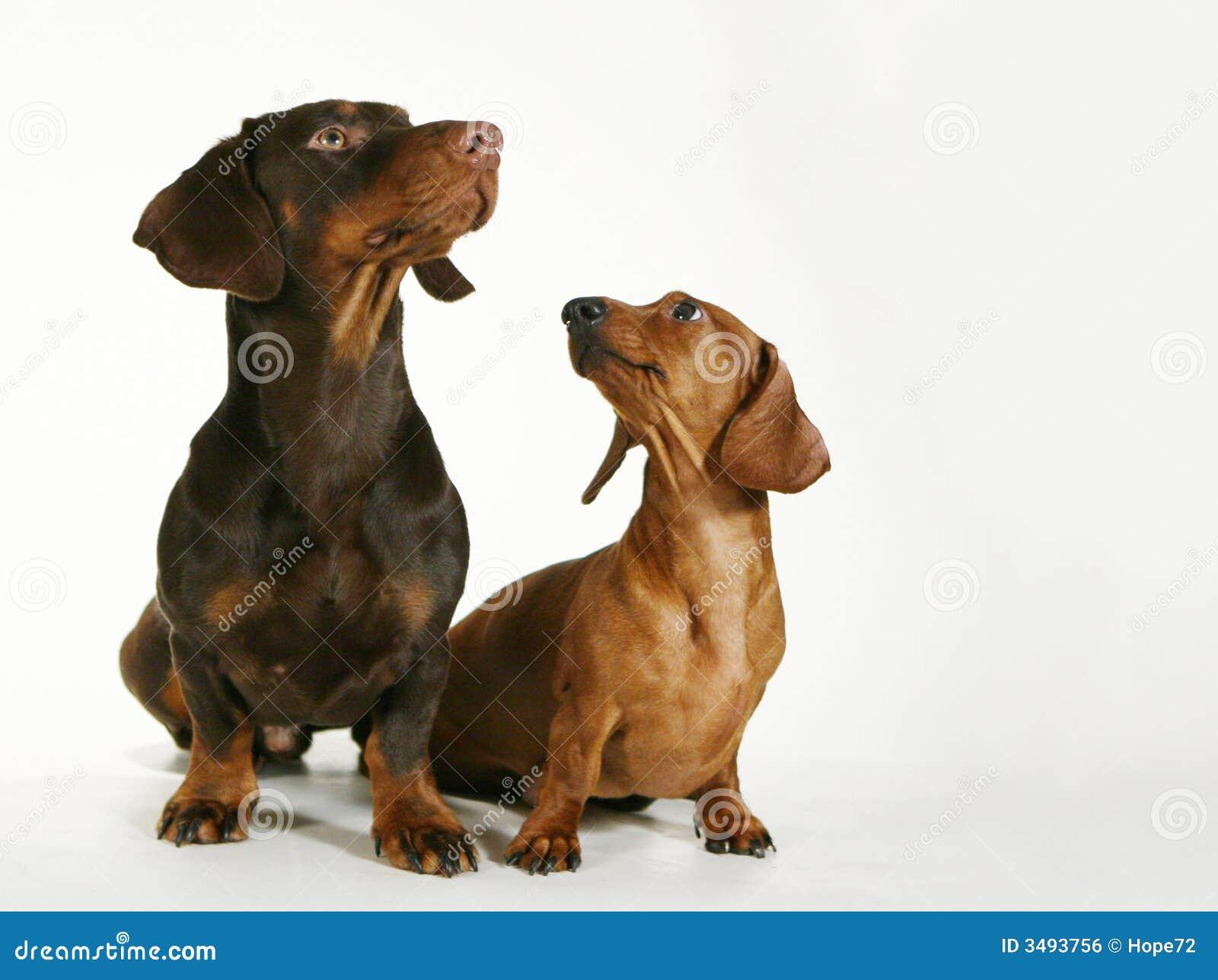 Pies rodowód miłości
