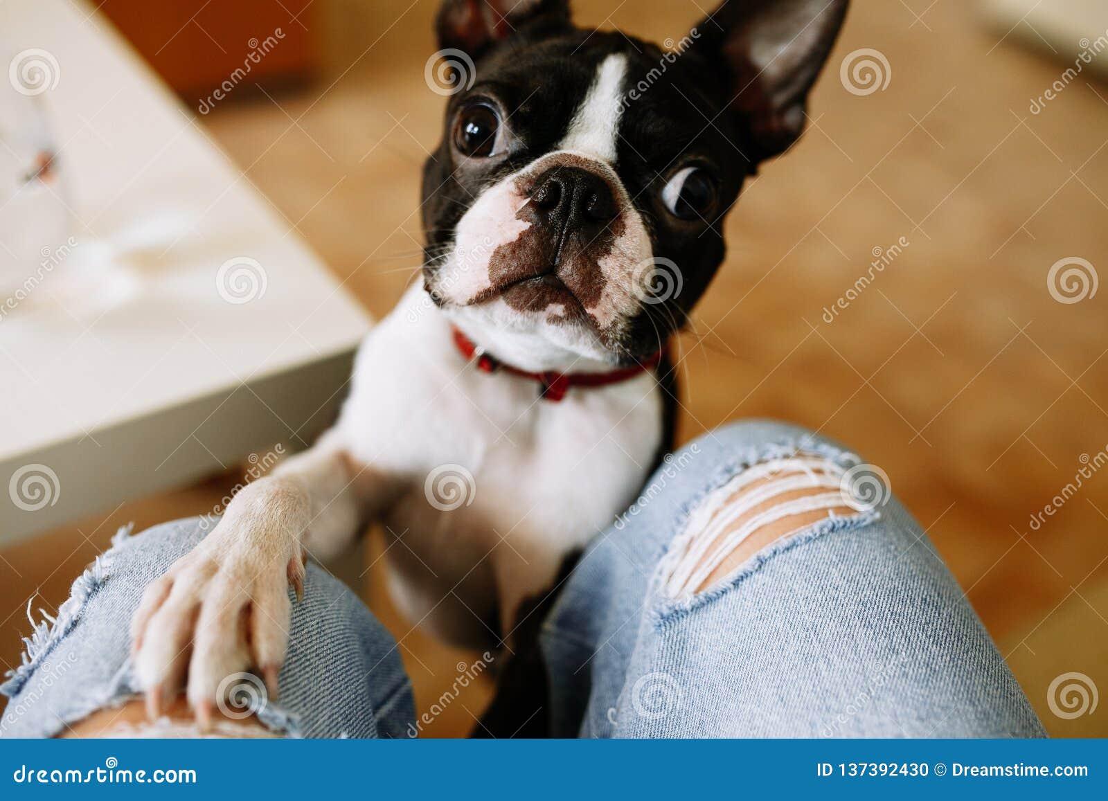 Pies stawiająca łapa