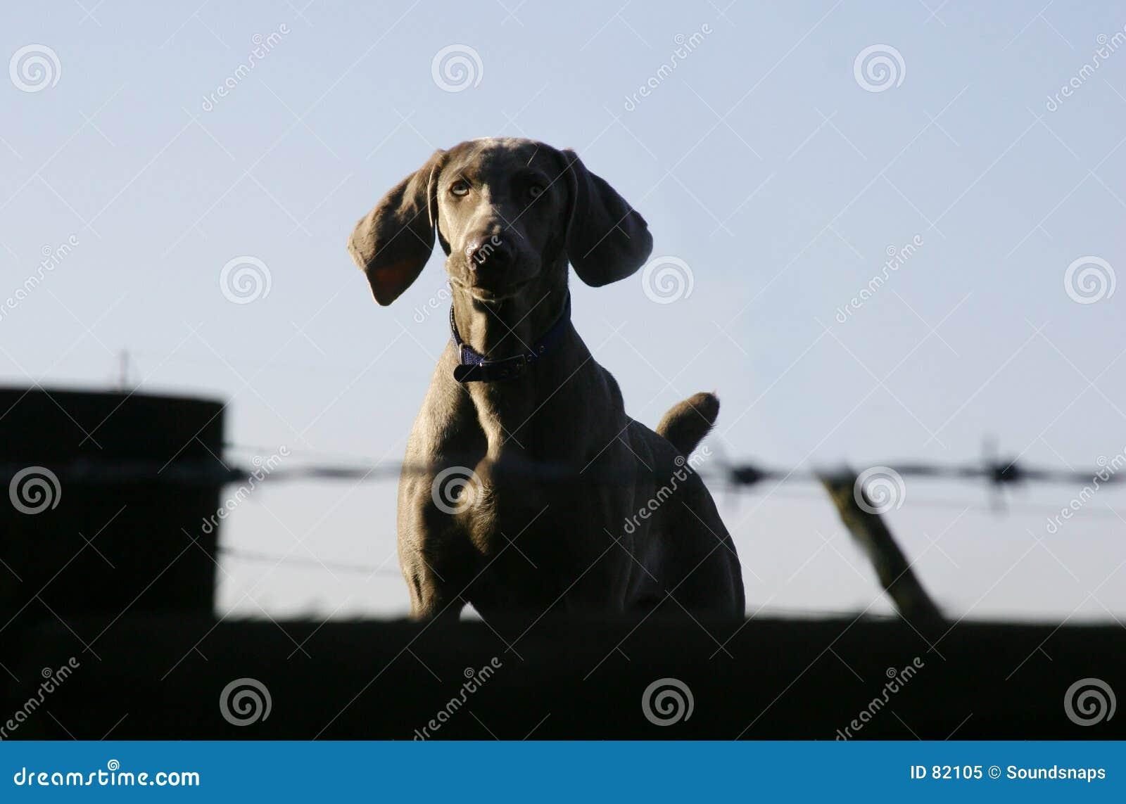 Pies straży
