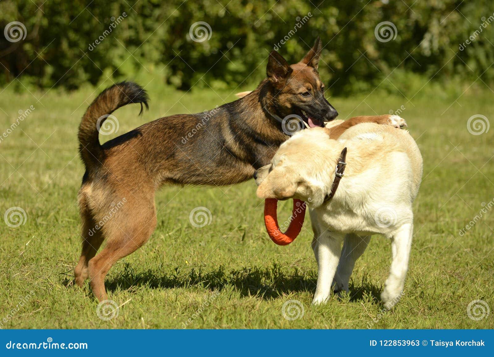 Pies sztuka z each inny Labrador Wesoło wrzawa szczeniaki agresywny pies Trenować psy Szczeniak edukacja, kynologia, intensywna