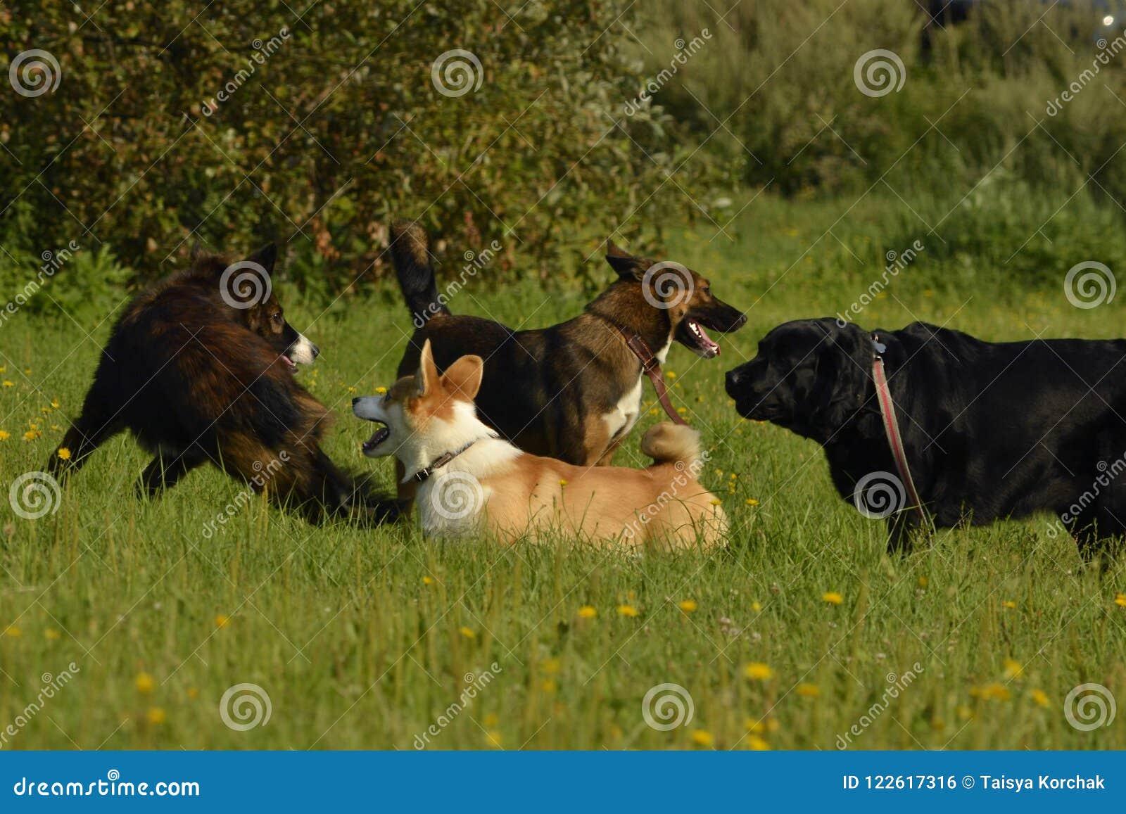 Pies sztuka z each inny Szczeniaka Corgi pembroke Wesoło wrzawa szczeniaki agresywny pies Trenować psy Szczeniak edukacja, cynolo
