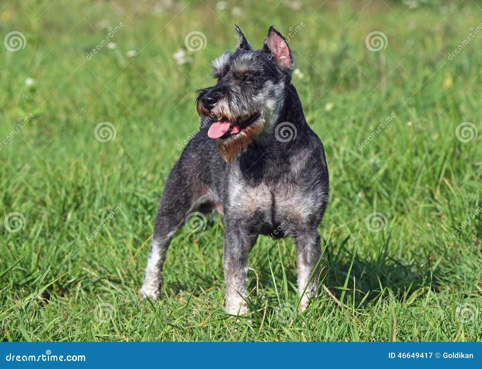 Pies traken Zwergschnauzer