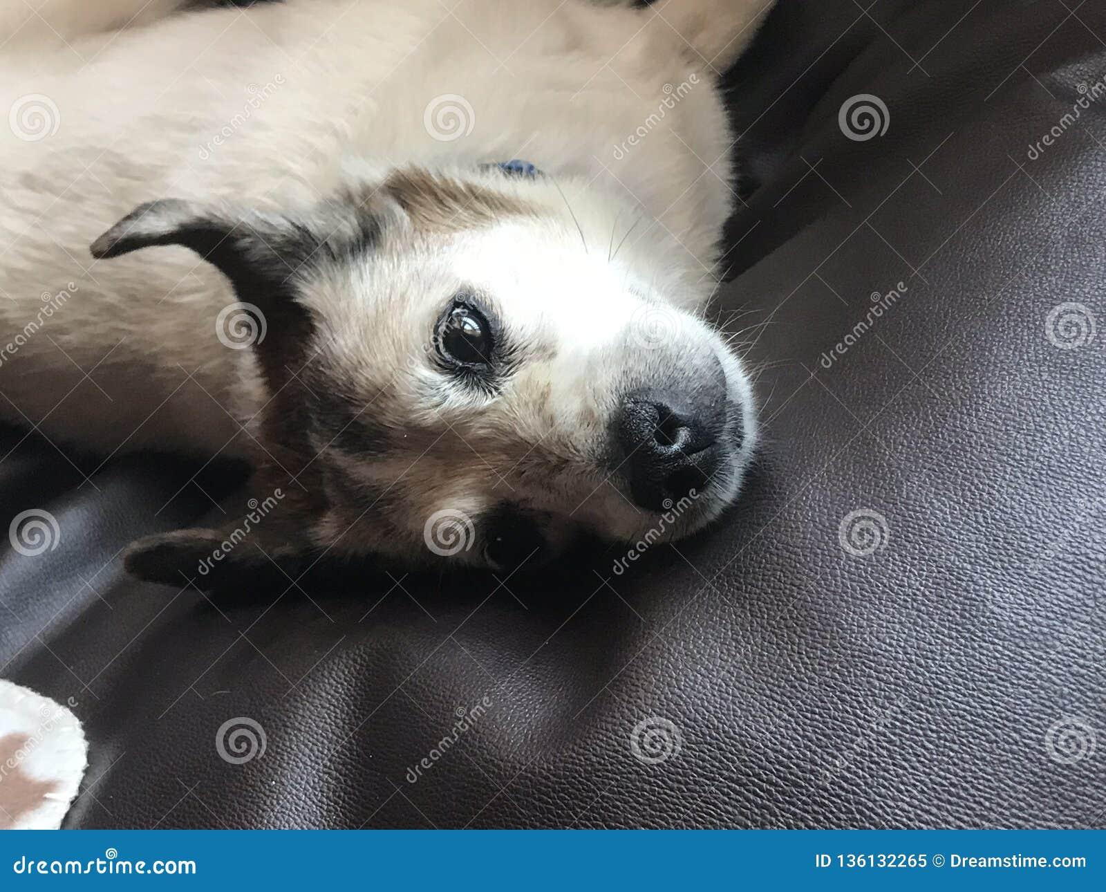 Pies w łóżkowej patrzeje kamerze w ten sposób ślicznej