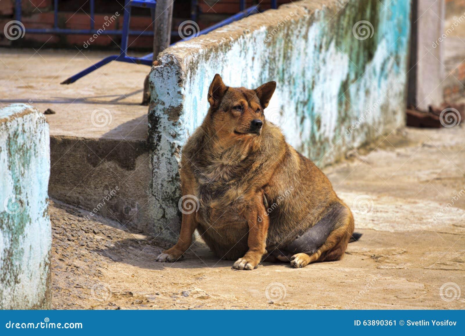 Pies w ciąży Gęsty pies