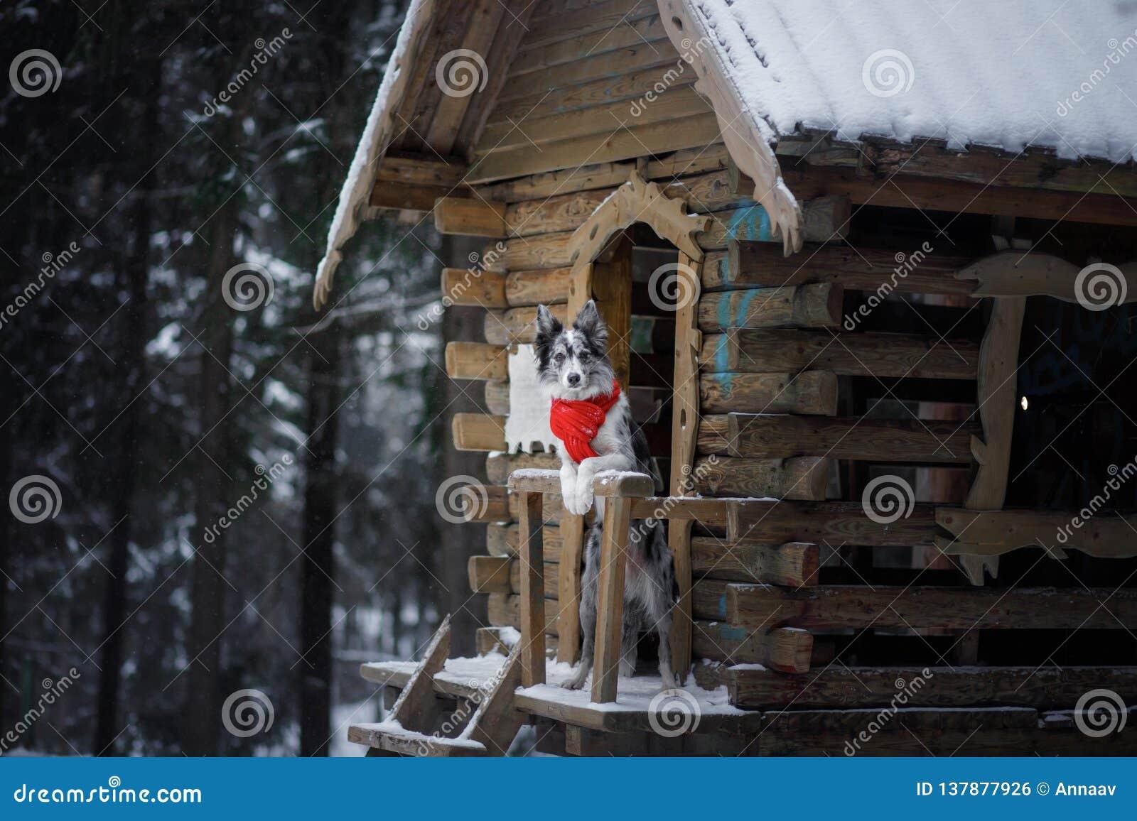 Pies w czerwonym szaliku przy drewnianym domem rabatowego collie zima Zwierzę domowe przy spacerem