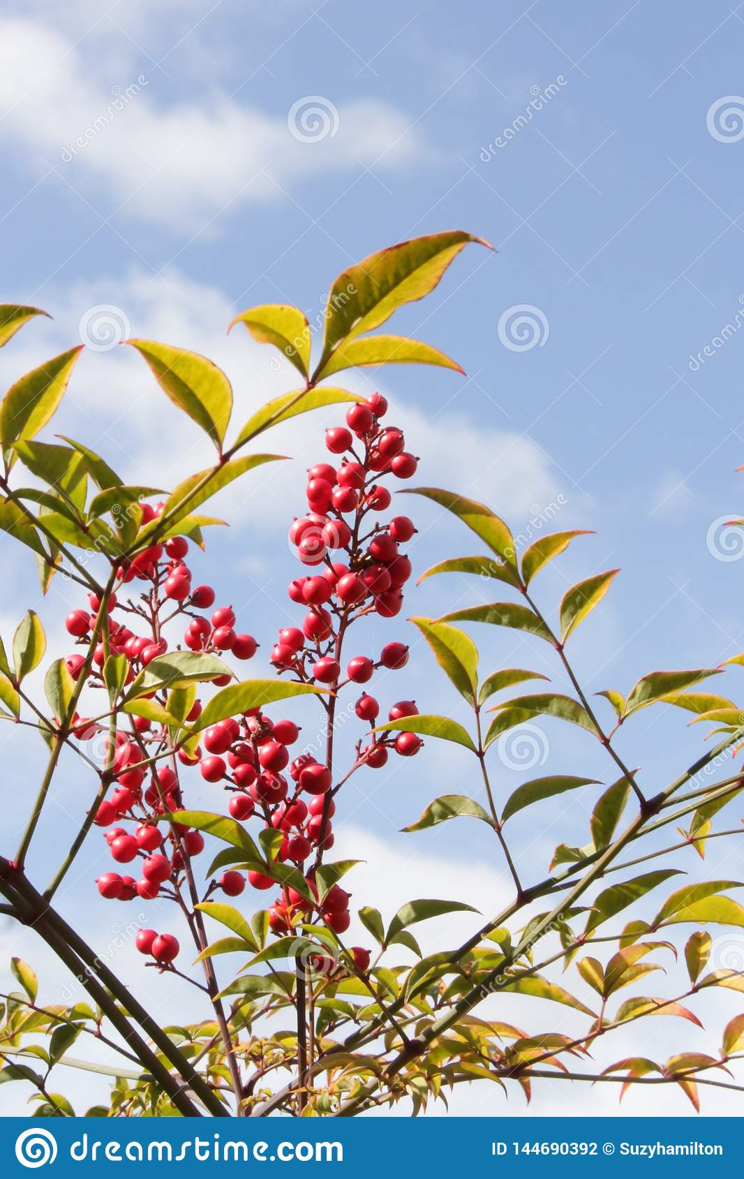 Pieza de Nandina Domestica del arbusto con el fondo del cielo azul