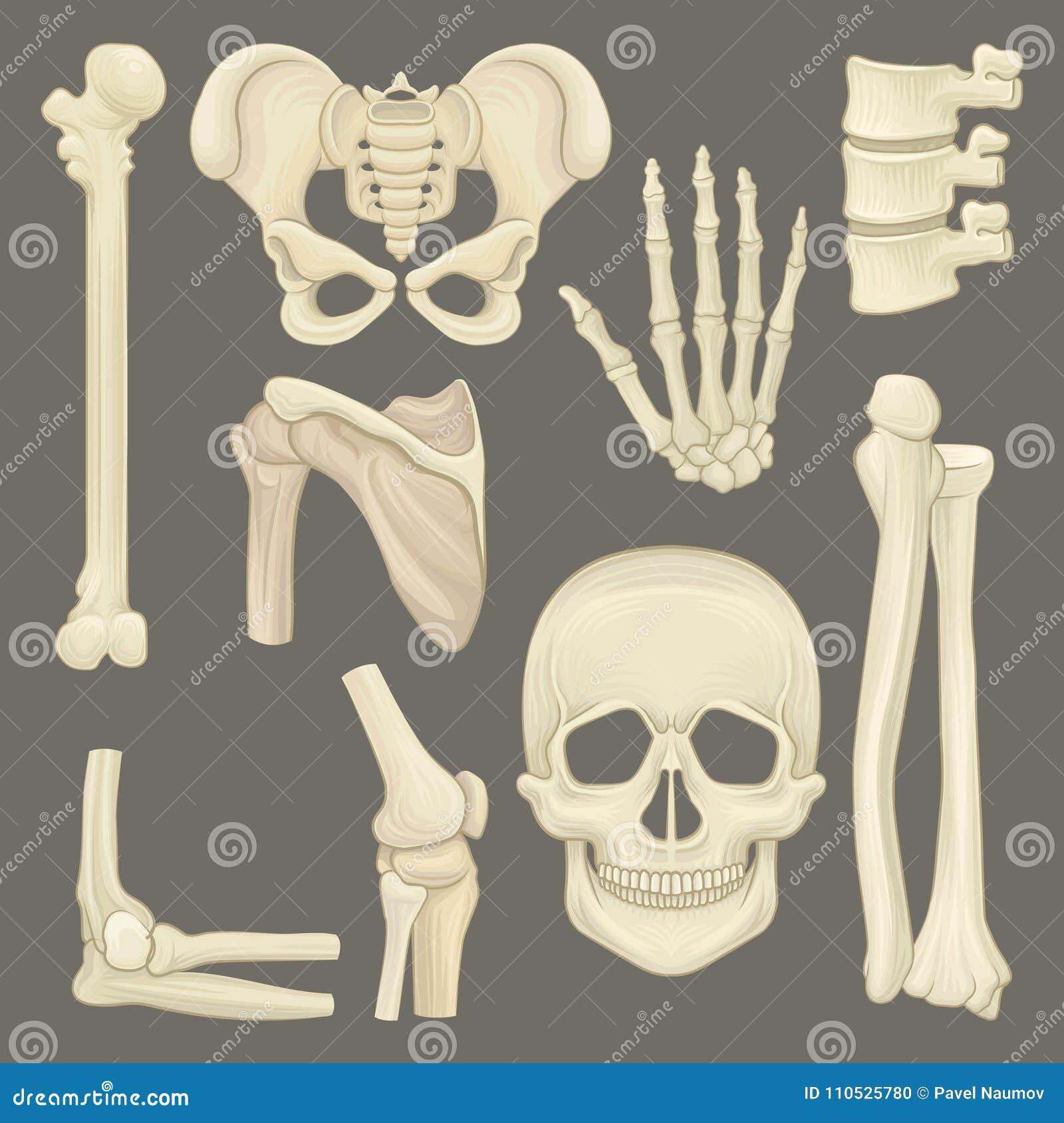 Piezas Del Esqueleto Humano Cráneo, Faja Pélvica, Mano, Húmero ...