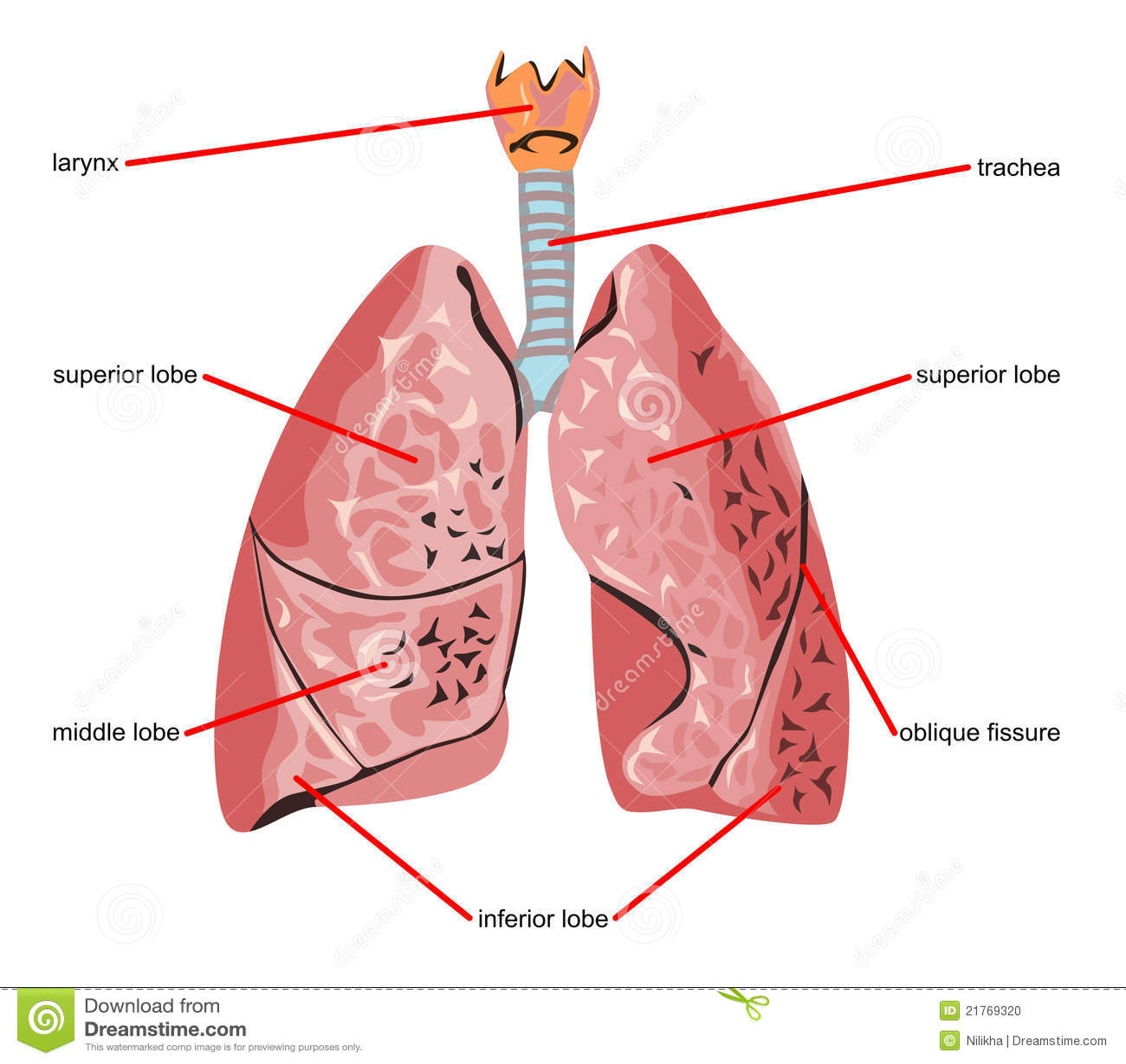 Único Partes De Los Pulmones Composición - Imágenes de Anatomía ...