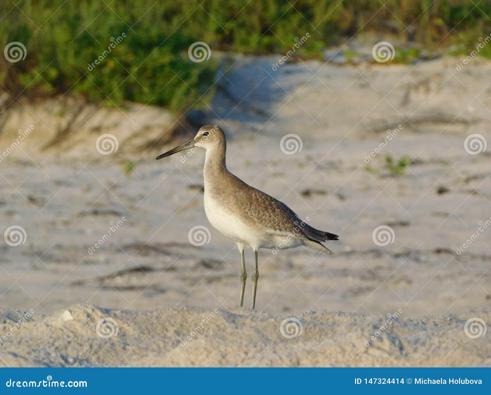 Pifferaio sulla spiaggia, Florida, haemastica della sabbia del Limosa della pittima di Hudsonian