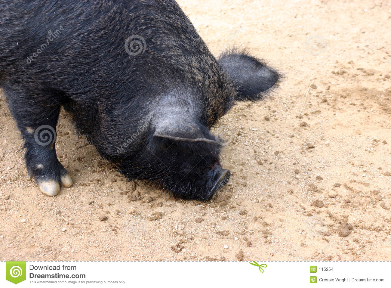 Download Pig stock photo. Image of blacksnout, bacon, boar, potbelly - 115254