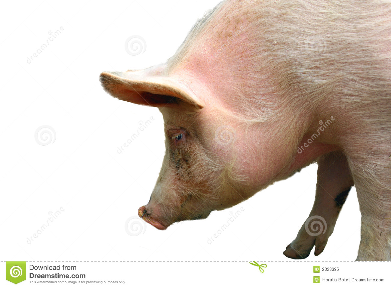 Pig Stock Image Image Of Dirty Baby Stink Unclean
