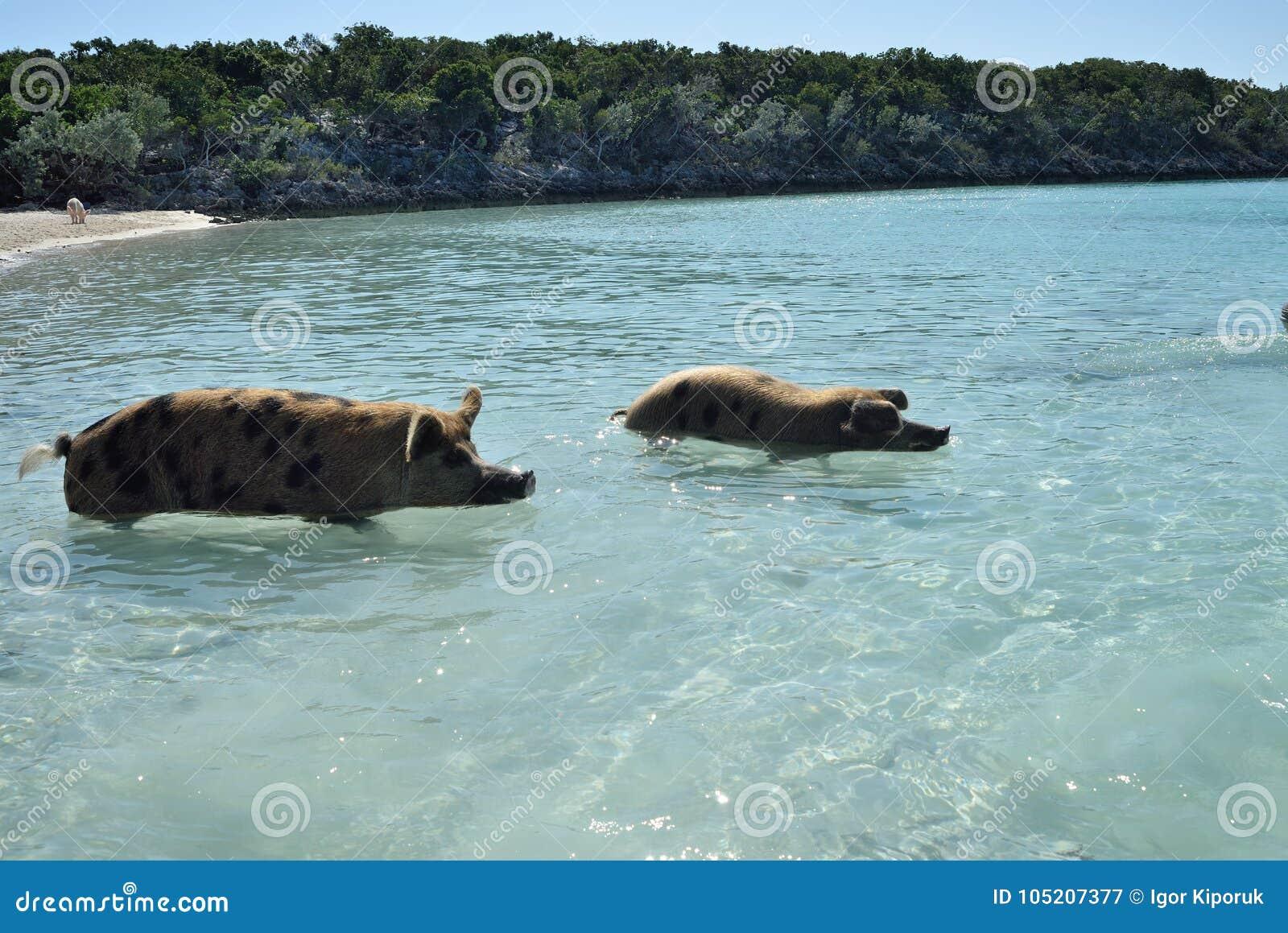 Pig beach  stock image  Image of tourists, exuma, bank