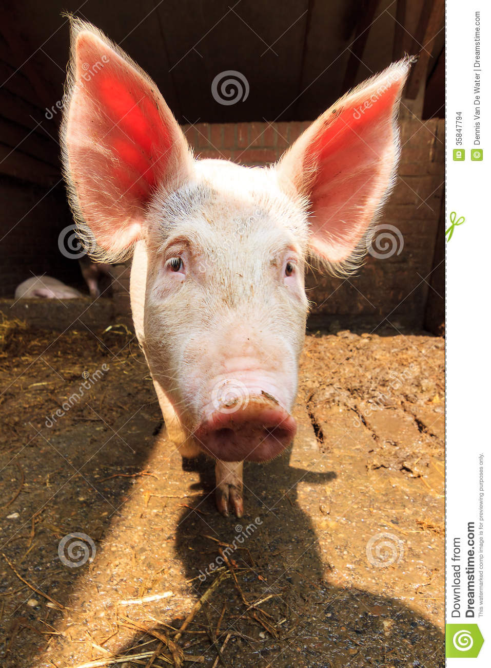Pig With Big Ears Stock Photo Image Of Cute Ears