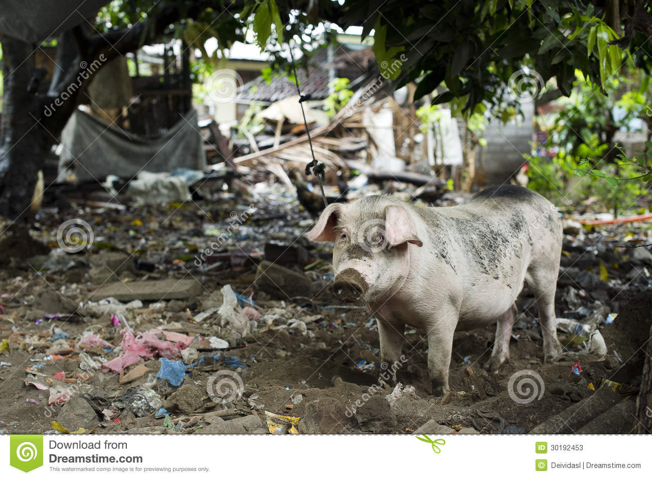 Pig in dirty and messy backyard behind cafe on island of Bali ...