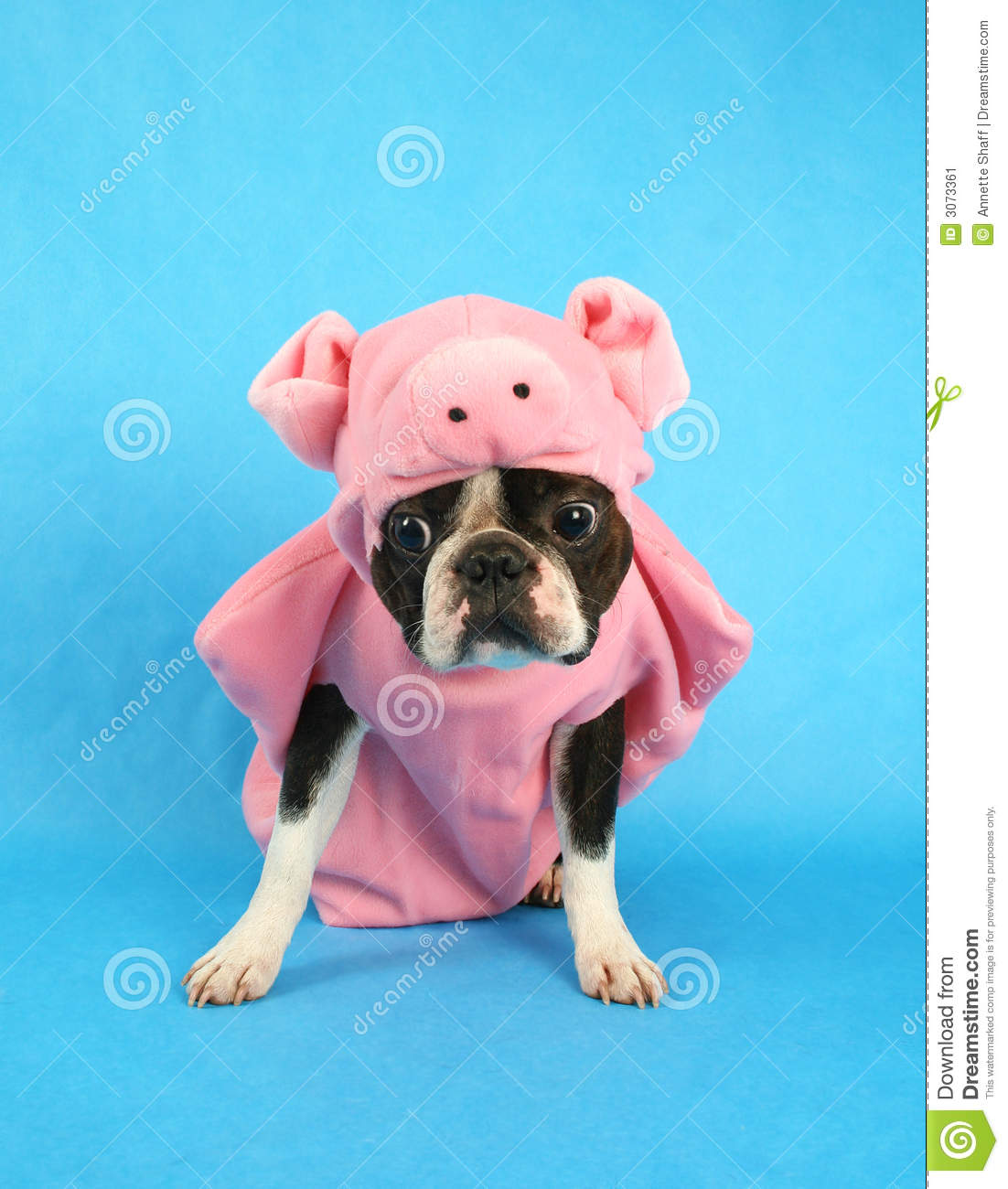 Royalty-Free Stock Photo & Pig dog stock image. Image of mammal girl boston pedigree - 3073361
